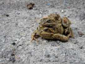 "Spring is here. Rob: ""Look its a mumma and baby frog."" Jules: ""I think it is more like mumma frog and daddy frog."""
