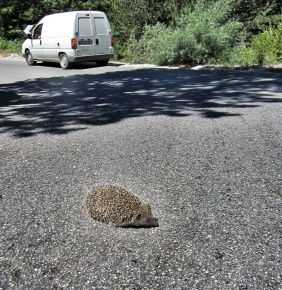"Julie ""helped"" the hedgehog off the middle of the road using her exceptional hockey skills..."
