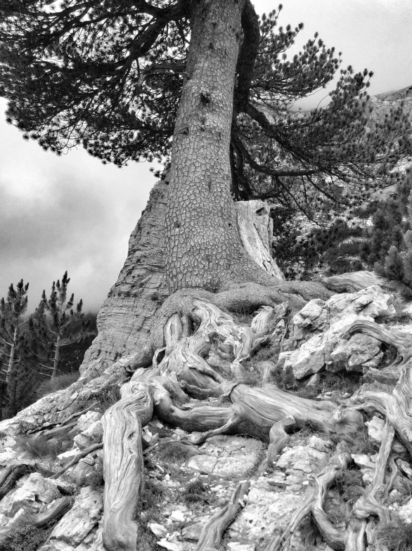 Not a flower, but amazing old pines that we found on our final decent into Thethi that felt that they should live in black and white to show the amazing texture of them
