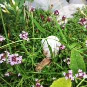 On the last day we had drizzle which brought out these amazingly large snails... Here featured with little purple flowers